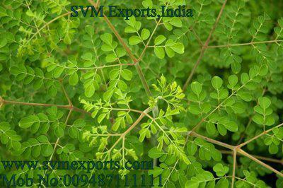 SVM EXPORTS INDIA Moringa Tea Cut Leaf Exporters